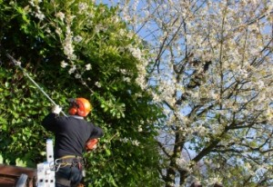 Tree Trimming, tree removal, tree services, tree cutting, tree pruning